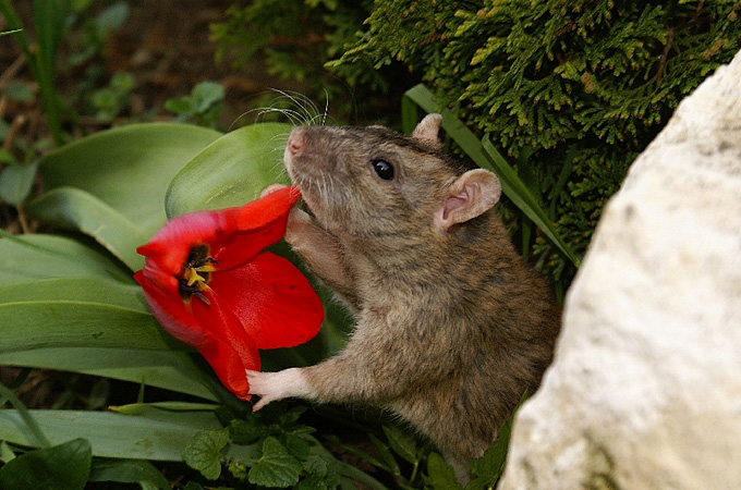 Уход за домашними декоративными крысами