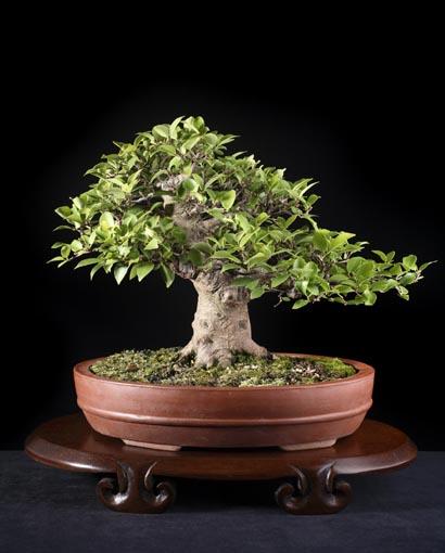 Искусство выращивания дерева в миниатюре. Бонсай.